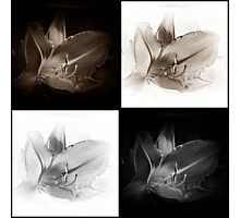 Lilies Sepia And Black/White Collage Photographic Print
