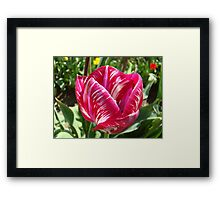 Bright Tulip Flower art prints Pink White Tulips Framed Print