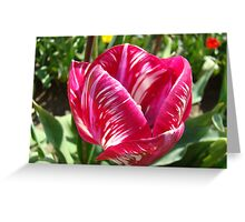Bright Tulip Flower art prints Pink White Tulips Greeting Card