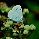 Holly Blue by Russell Couch