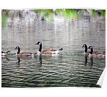 Geese enjoying a cooling swim on a HOT July day Poster