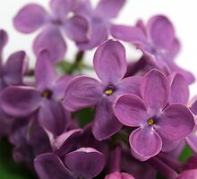 lilac by Carine LUTT
