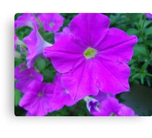 Petunias purple fun Canvas Print