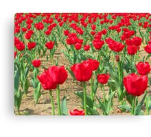 Spring Tulips - Netherlands Carillon Canvas Print