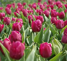 Pink Tulips  by jamiecwagner