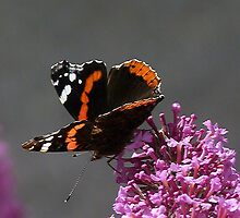 Butterfly Bush by christinecliff