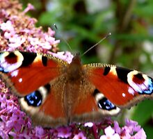 peacock butterfly by christinecliff