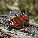 Peacock on Log by dilouise