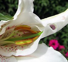 Birth of an Oriental Lily by BlueMoonRose