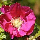 Rambling Rose by dilouise