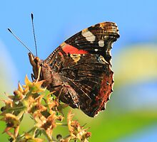 Red Admiral Butterfly, Nunnery Lane,Darlington,England by Ian Alex Blease
