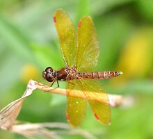 Male Eastern Amberwing by William Brennan