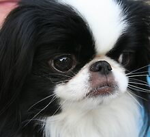 Super Japanese Chin