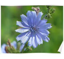 Chicory Blue Poster
