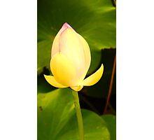 Lotus bud Photographic Print