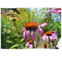 Echinacea Flowers in Summer Poster