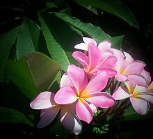Pink Plumeria by Shaun  Gabrielli