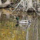 Reflecting Mallard by Alyce Taylor