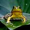 """(Amphibians & Reptiles Category) - Family - Ranidae - """"True"""" Frogs"""