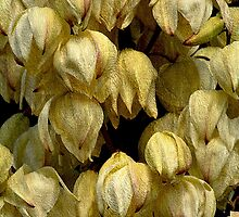 Showers Of Yucca Flowers by Alexandra Lavizzari