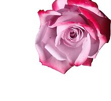 Rose of Pinks by KazM