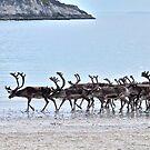 Reindeer Flock by the Arctic Ocean by Ritva Ikonen
