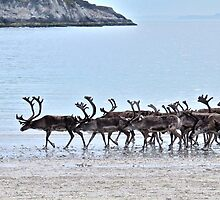 Reindeer Flock by the Arctic Ocean by Ritva Ikonen