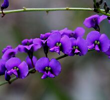 Hardenbergia violacea by andrachne