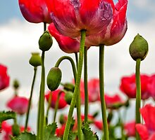 Oriental Poppies by Stephen Knowles