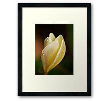 Frangipani in the rain (color) Framed Print