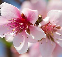 peach flower on tree by spetenfia