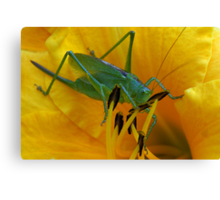 Green grasshopper inside in yellow lily Canvas Print