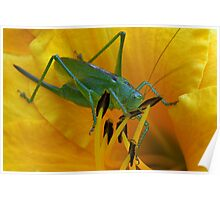 Green grasshopper inside in yellow lily Poster