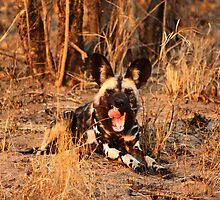 Wild dog smile - South Africa by Bassy