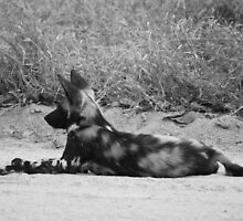 Painted dog - South Africa by Bassy
