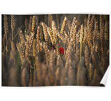 Poppies in the corn. Poster