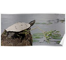 Northern Map Turtle  Poster