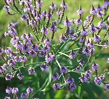 Swamp Vervain- Verbena hastata  by Tracy Faught