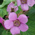 Purple-flowering Raspberry- Rubus odoratus by Tracy Wazny