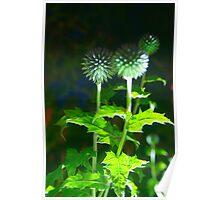 Echinops by Night Poster