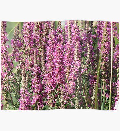 Purple Loosestrife- Lythrum salicaria  Poster
