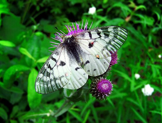 American Apollo Butterfly ~  by Charles & Patricia   Harkins ~ Picture Oregon