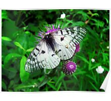 American Apollo Butterfly ~  Poster