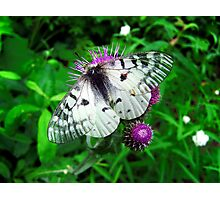 American Apollo Butterfly ~  Photographic Print