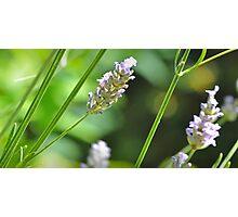 Lavender Macro Photographic Print