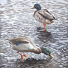 two mallard ducks standing in water by martyee