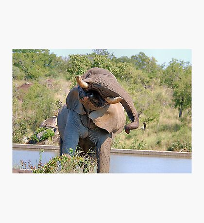 NOT WOW! The African Elephant behaviour when in musk Photographic Print