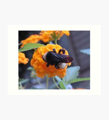 Bumble bee on lantana Art Print