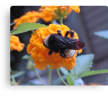 Bumble bee on lantana Canvas Print