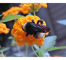Bumble bee on lantana Photographic Print